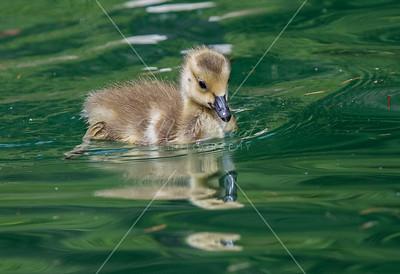 Aquatic Birds, Non Ducks