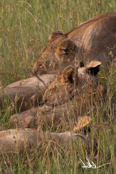 Lions Masai Mara - S-2.jpg