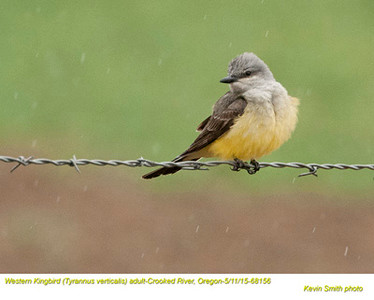 Western Kingbird A68156.jpg