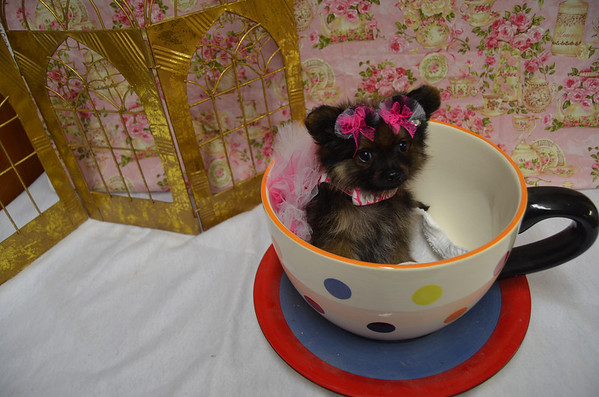 Female Pomeranian Puppy # 2899