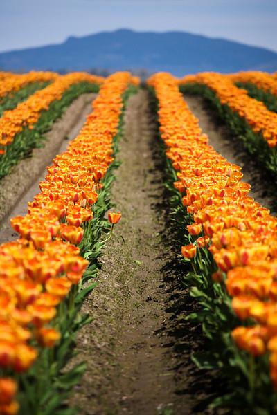Tulip Festival, Mt. Vernon, Skagit Valley, Washington. 鬱金香節,華盛頓州
