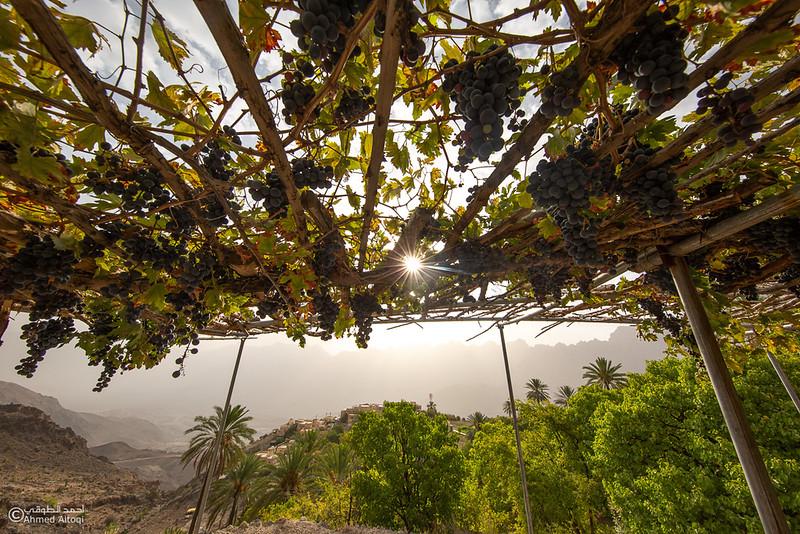 Grape - Wakan village - Nakhal212- Oman.jpg
