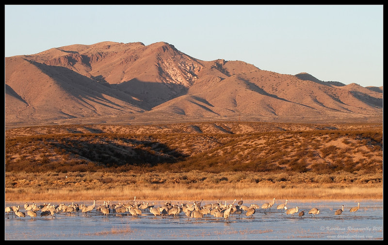 Sandhill Cranes scape, Bosque Del Apache, Socorro, New Mexico, November 2010