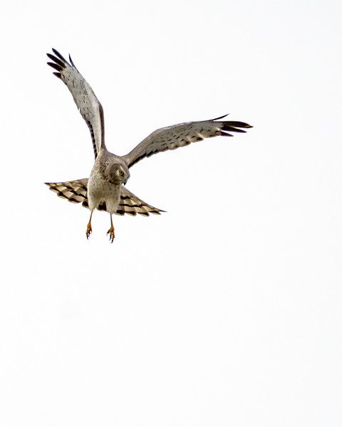 Northern Harrier Hawk - NH II