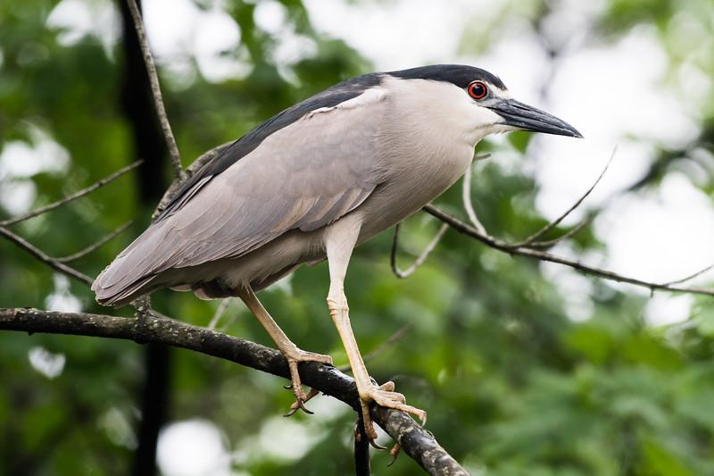 19-Sept North America Birds-5943.JPG