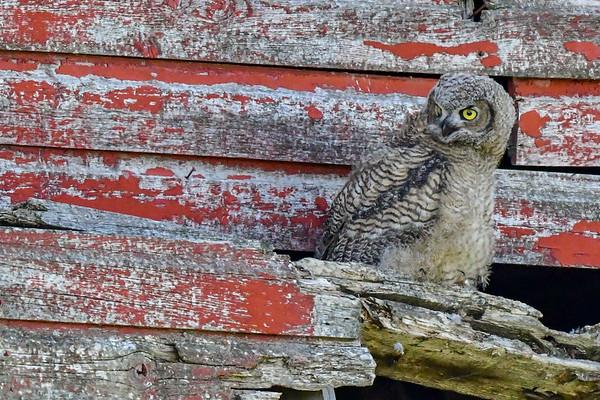 7-5-18 Great Horned Owl - Red Barn -  Mom & Owlet