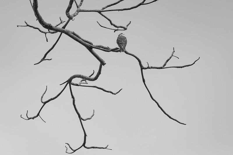 Kestrel on branch-01917.jpg