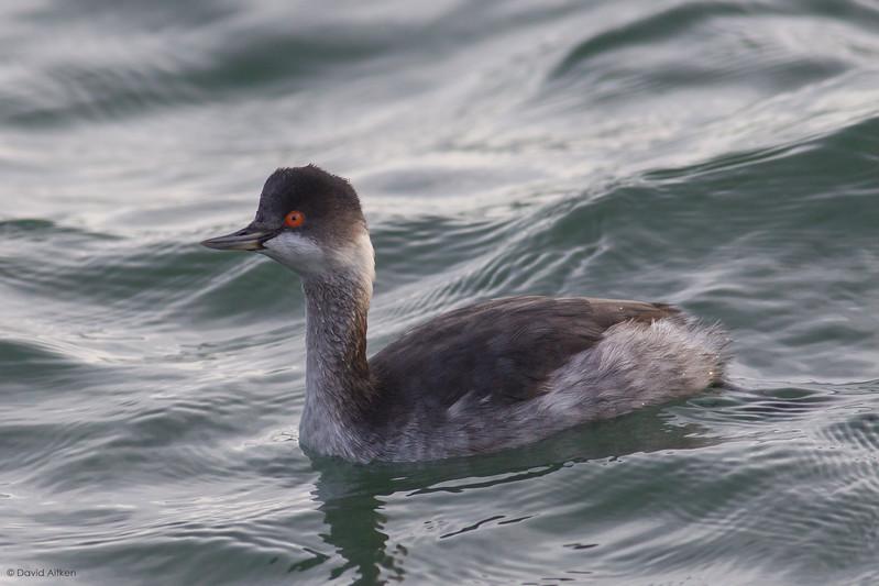 Black-necked Grebe - Scarborough, Yorkshire 12/11/15