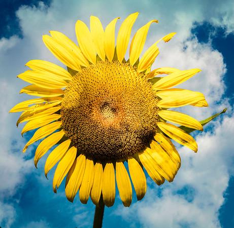 Sunflowers 2018