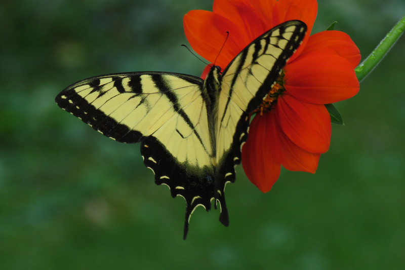 swallow tail one.jpg