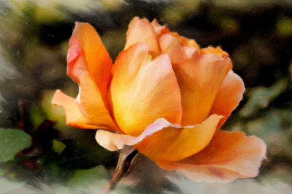 April 11 - Orange-ish rose.jpg