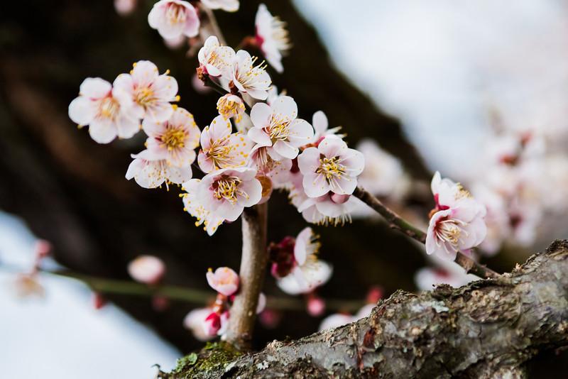 AlikGriffin_Pink_Japanese_Plum_Blossoms.jpg