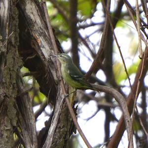 Cerulian Warbler