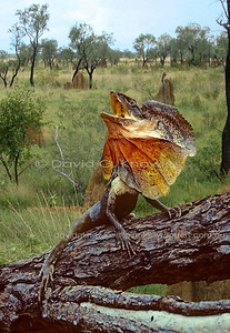 Australian Lizards Agamidae (Dragon Lizards)