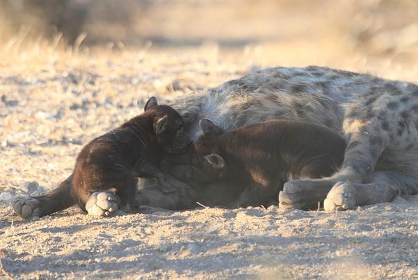 Hyena Pups Suckling Mashatu Botswana 2013