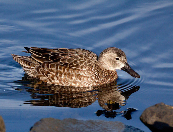 Blue-winged Teal (Anas discors ➛ Spatula discors)