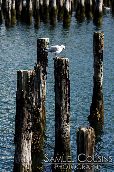 A seagull standing on an old piling.