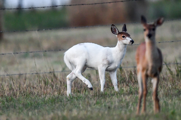 9-2-17 Piebald White-Tailed Deer am