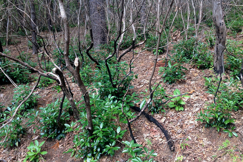 The next generation of laurel sprouts beneath the charred remnants of their parents...