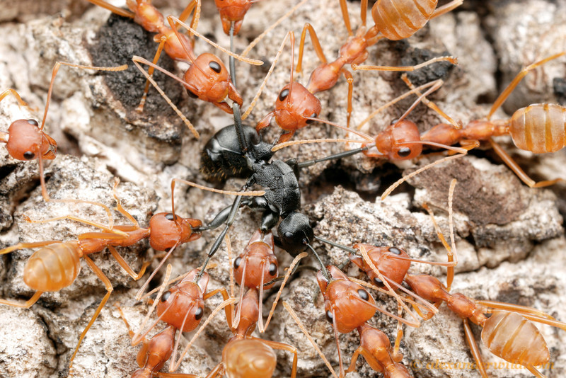 Oecophylla longinoda, the tailor ant, is fiercely territorial.  Here they have pinned down a Polyrhachis intruder that has stumbled onto their tree.  St. Lucia, KZN, South Africa