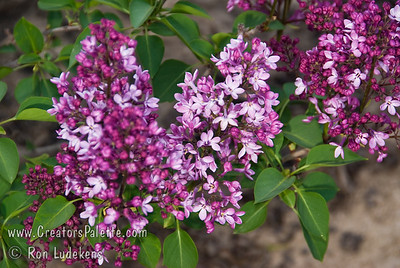 Dark Night Lilac - Syringa x hyacinthiflora 'Dark Knight'