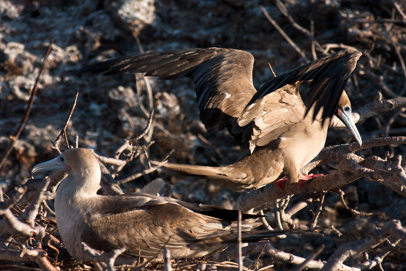 Family Building a Nest Togeather : Journey into Genovesa Island in the Galapagos Archipelago