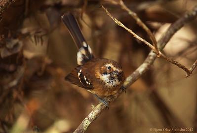 Monarchidae (Monarchs / Monarker)