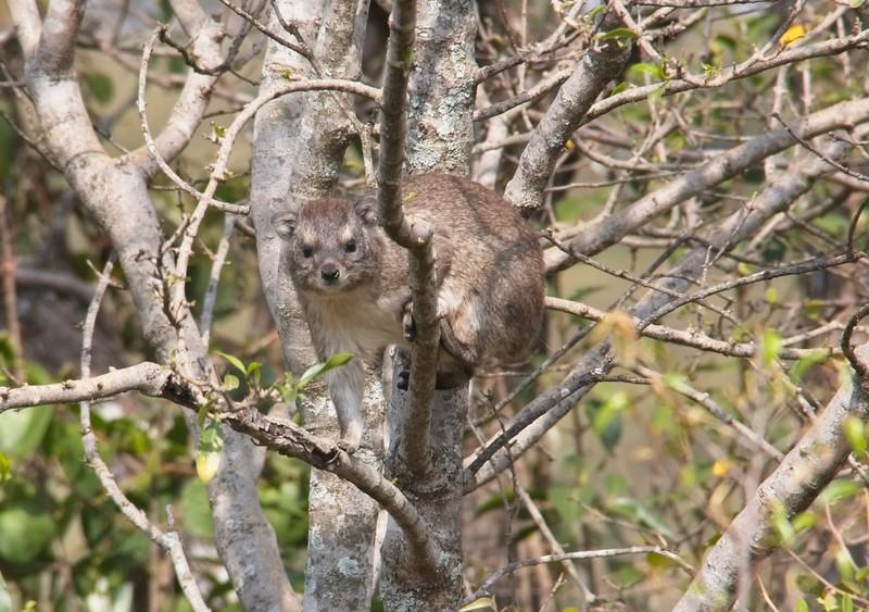 Tree Hyrax, Ol Seki