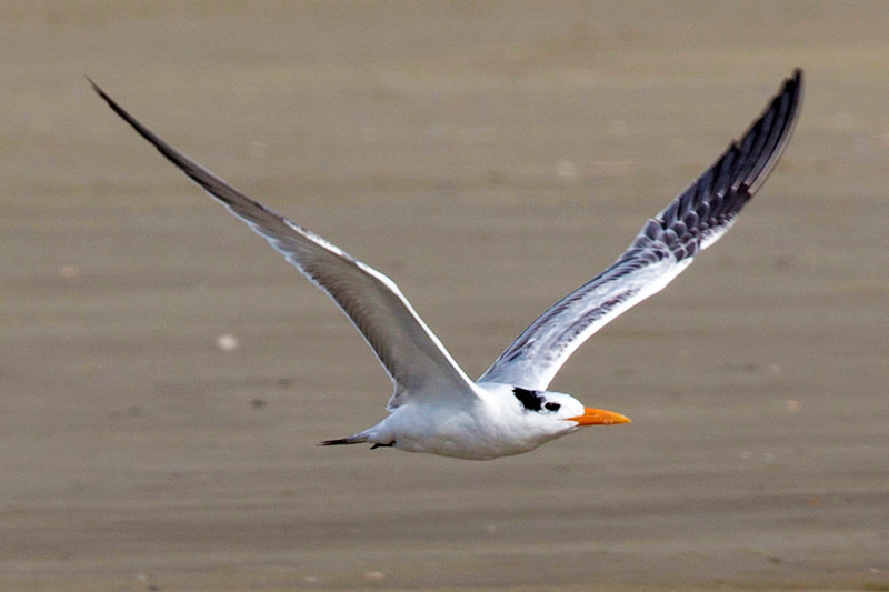 One of the Royal Terns takes flight.