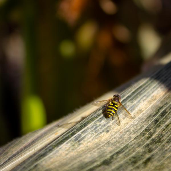 corn maze bee.jpg