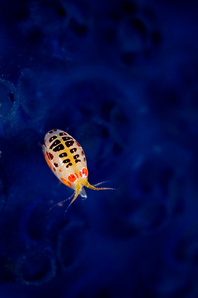 "A ""lady bug"" sits on a sea squirt."