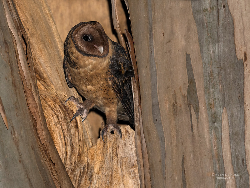 Masked Owl, Port Arthur, TAS, Sept 2016-3a.jpg