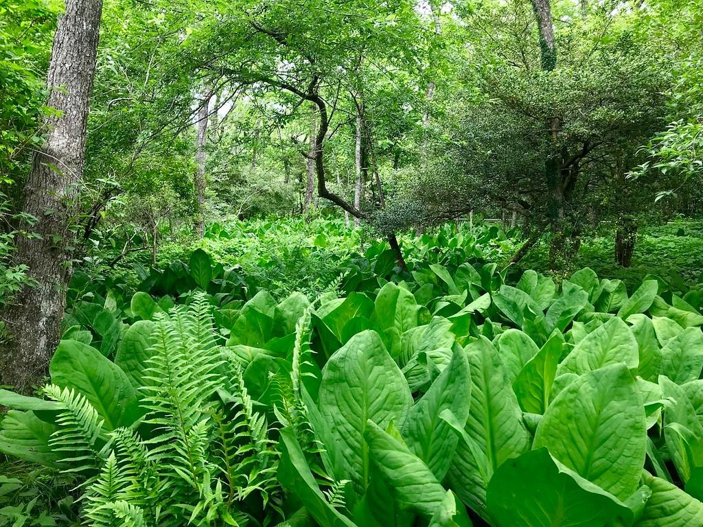 A seeming sea of basho leaves.