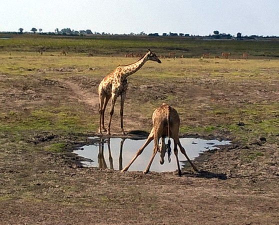 In order to get a drink, the giraffes have to spread their legs. To get back up they lift their feet and snap into an upright position.