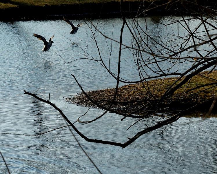 Ducks flight.jpg