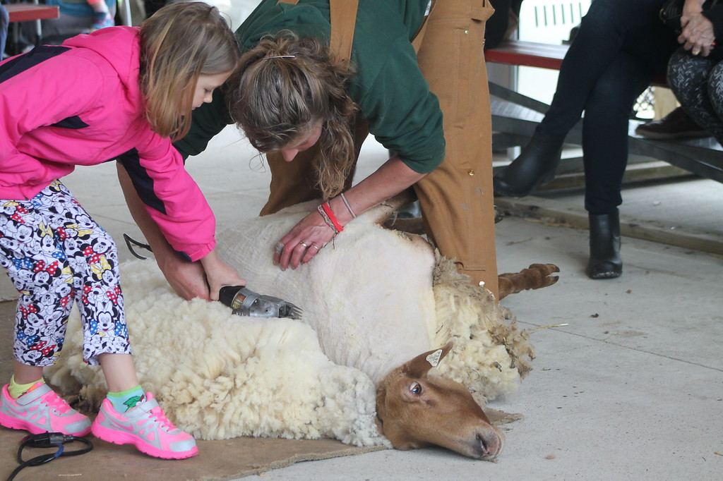 . Hailey Coxe, 8, Willoughby, guided by Farmpark interpreter  and shepherdess tries her hand as sheep shearing with electric shears during the Farmpark\'s sheep shearing weekend on May 13. Kristi Garabrandt - The News-Herald