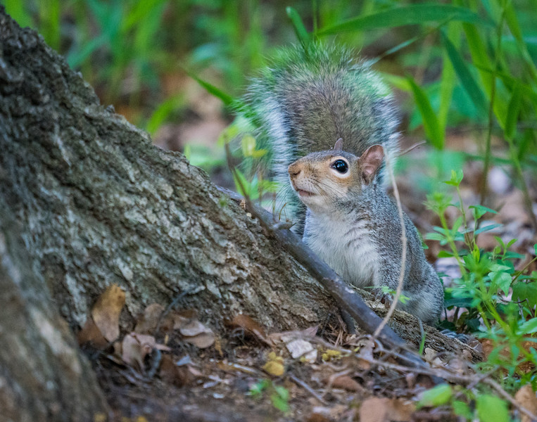 Squirrel in Raleigh