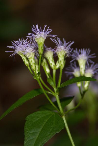 Conoclinium coelestinum - Blue Mist Flower