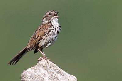 Towhees & Sparrows