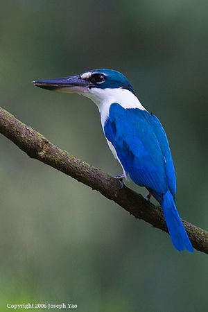 Dollarbird, Kingfishers and Bee-Eaters