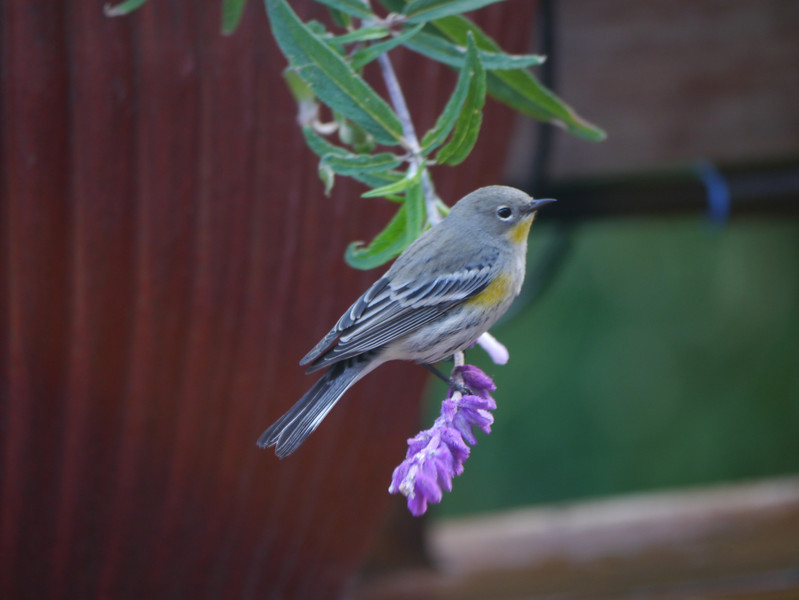Western Tanager -photo 2