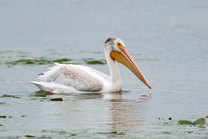 Pelican - American White - Lake Vadnais - Vadnais Heights, MN - 02