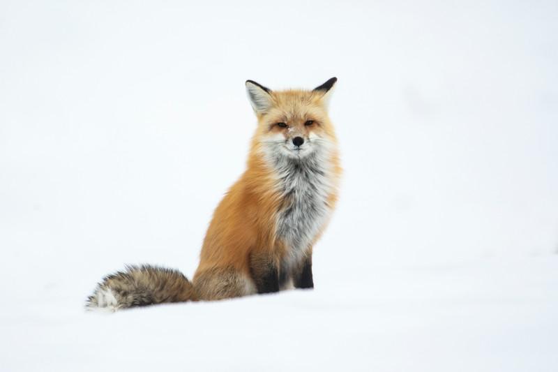 387A9750 Red fox at Hayden valley best cropped.jpg