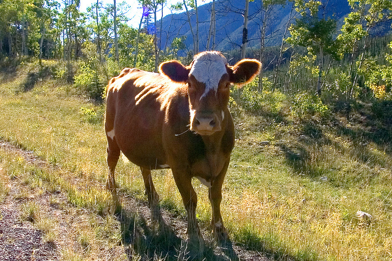 This cow took time out of her busy day to pause for a picture.