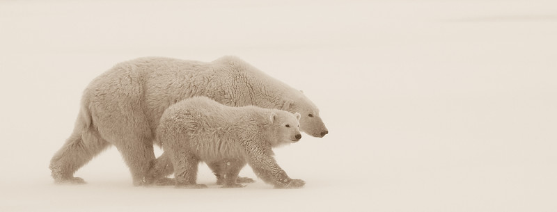 churhill-mom-cub-walking.jpg