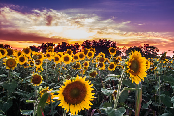 Sunflowers 08-08-09-2015
