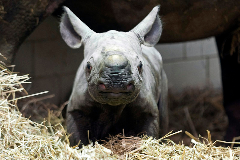 Description of . A black rhinoceros baby stands underneath its mother in their enclosure in the zoo in Berlin. (Timur Emek/AFP/Getty Images)