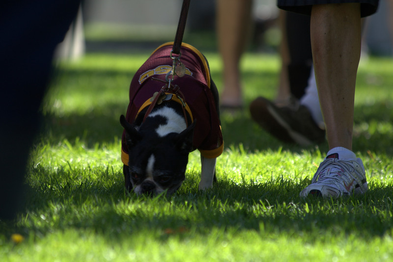 boston terrier oct 2010 112.jpg