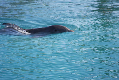 Cayman Islands Dolphin Encounter 2012