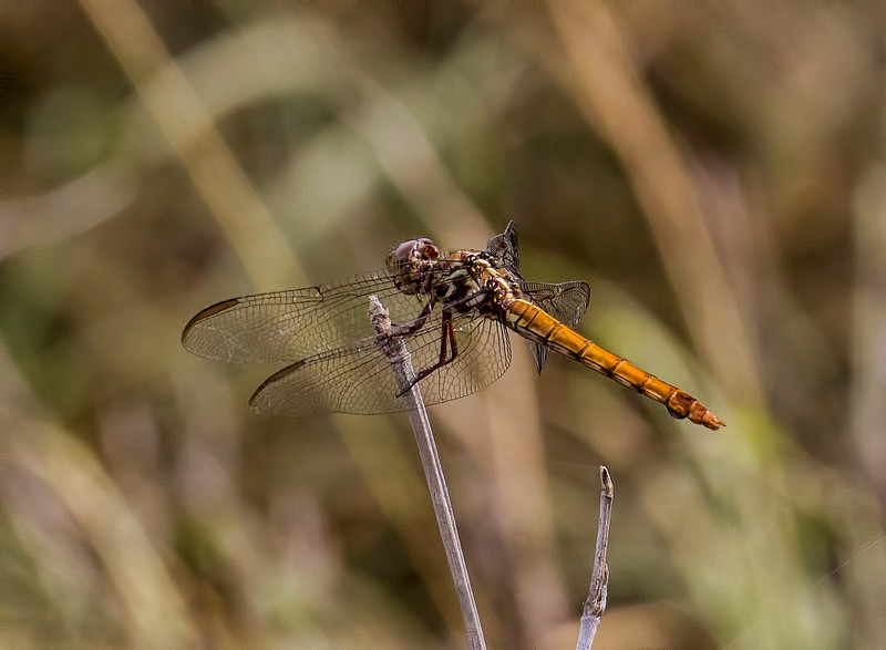 Female; Pumphouse E of Santa Ana NWR, TX